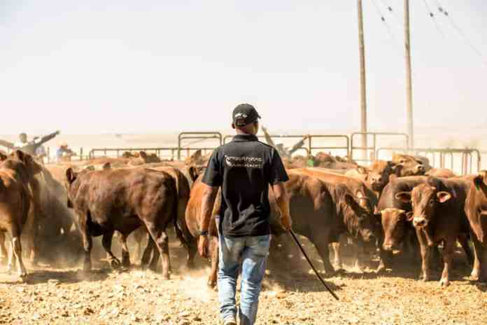 Afrikan Farms beef production includes Beefmaster, Symons bulls and Brahman crosses.