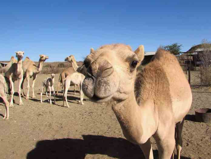 In 2015 a 47-year-old drought stricken sheep farmer, Hans Knoesen started seeing the wild camels on his farm as a potential asset and stared producing camel milk. Photo: Camel Milk South Africa.