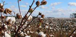 Hennie Bruwer, CEO of Cotton South Africa hopes that Edcon's new owners will continue supporting the local cotton industry. Photo: Pexels