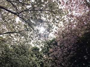 Sakura cherry blossom Ishinomaki, tashirojima, cat island, Japan, tsunami, Japan tsunami, 311, cats, neko, cat shrine, travel, travel blog, Glasgow foodie, foodie explorers
