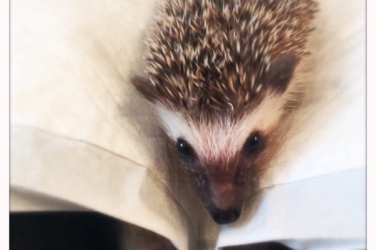 Hedgehog_Cafe_Japan_hedgehog