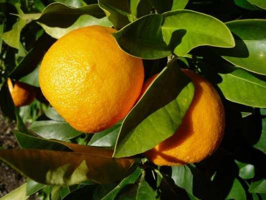 Seville orange