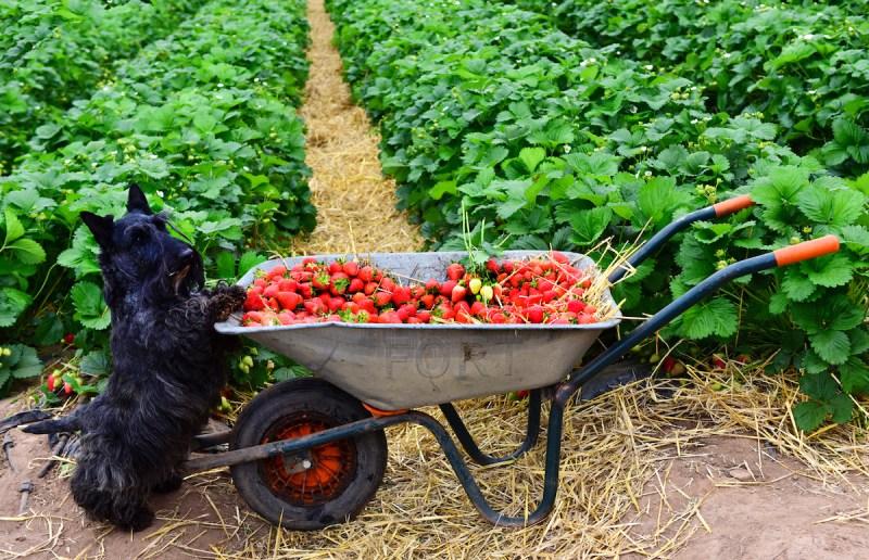 Scottys071trawberries