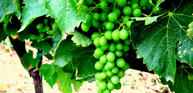 italy grapes