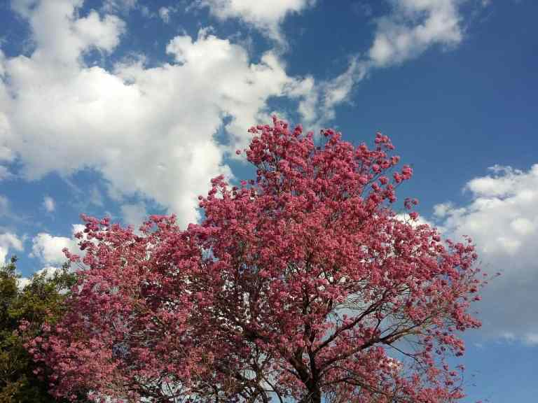 Rosaner Lapacho Baum