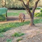 Nasce il Rosso Vesuviano, maiale allevato nel Parco Nazionale con tecniche antiche