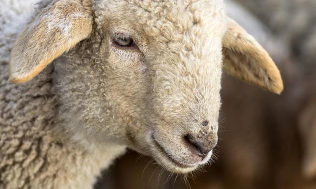 In Veneto un nuovo Presidio Slow Food: la pecora brogna della Lessinia