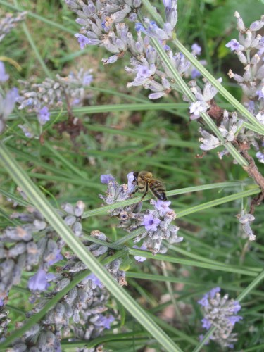 Honey Bees on Lavender