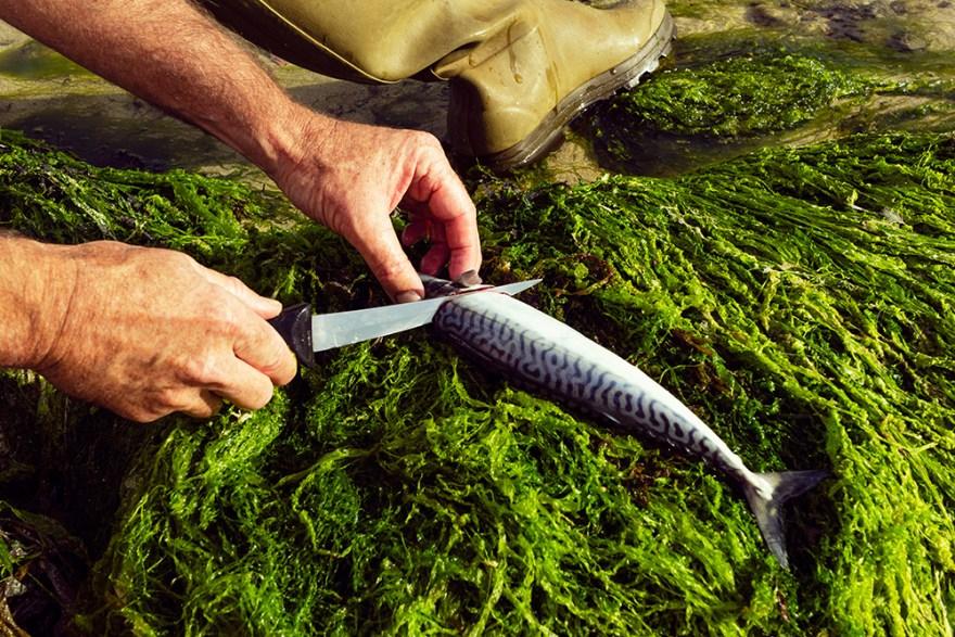 fresh caught mackerel being filleted