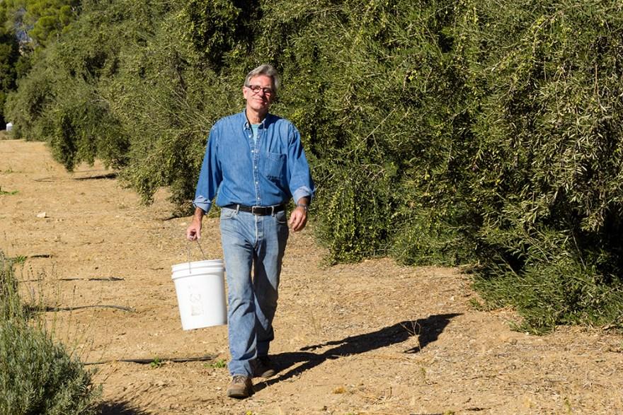 David Jackson, on location picking olives at the Highland Springs Resort