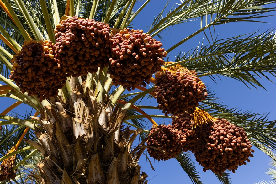 Date palm loaded with fruit