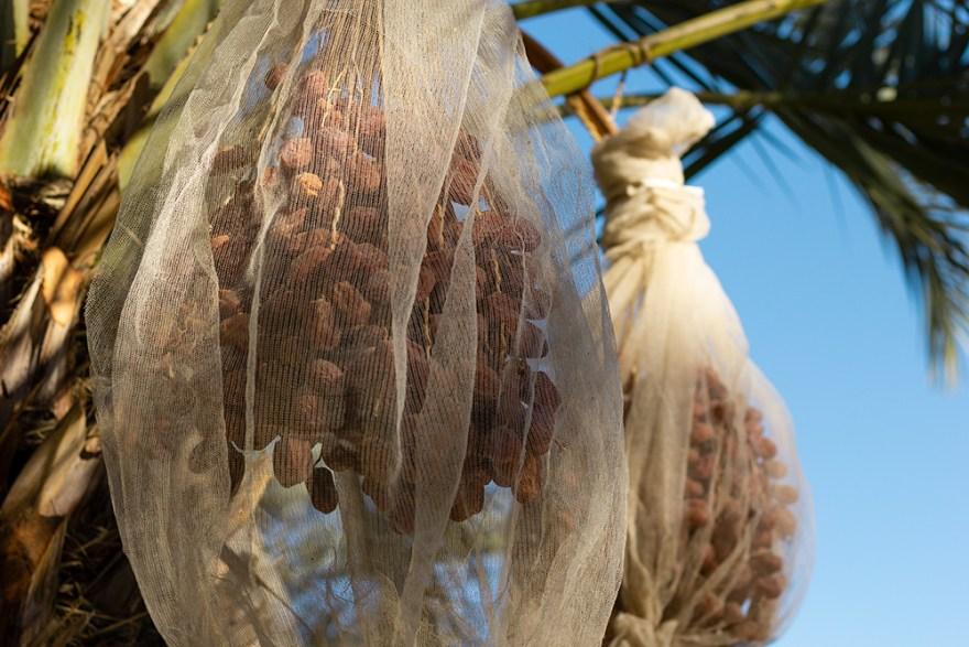 Medjool dates ready for harvest
