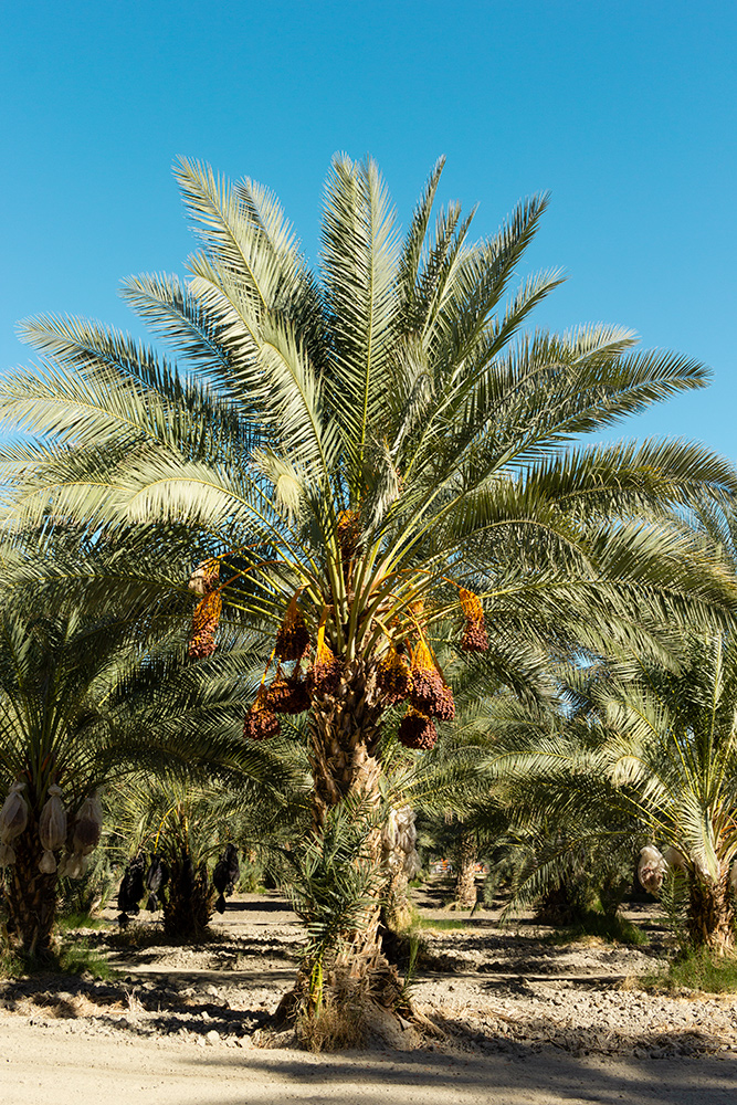 Date palm loaded with medjool dates