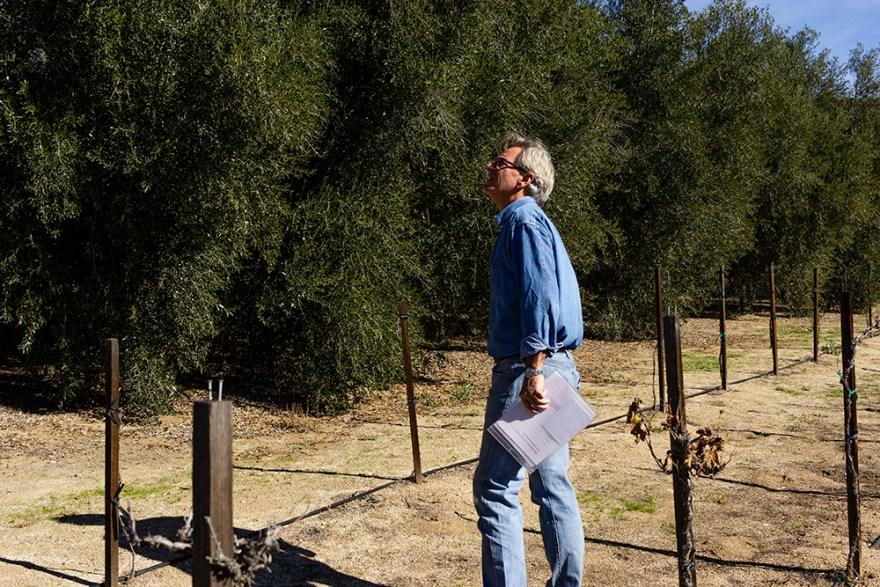 David Jackson looking at olive trees