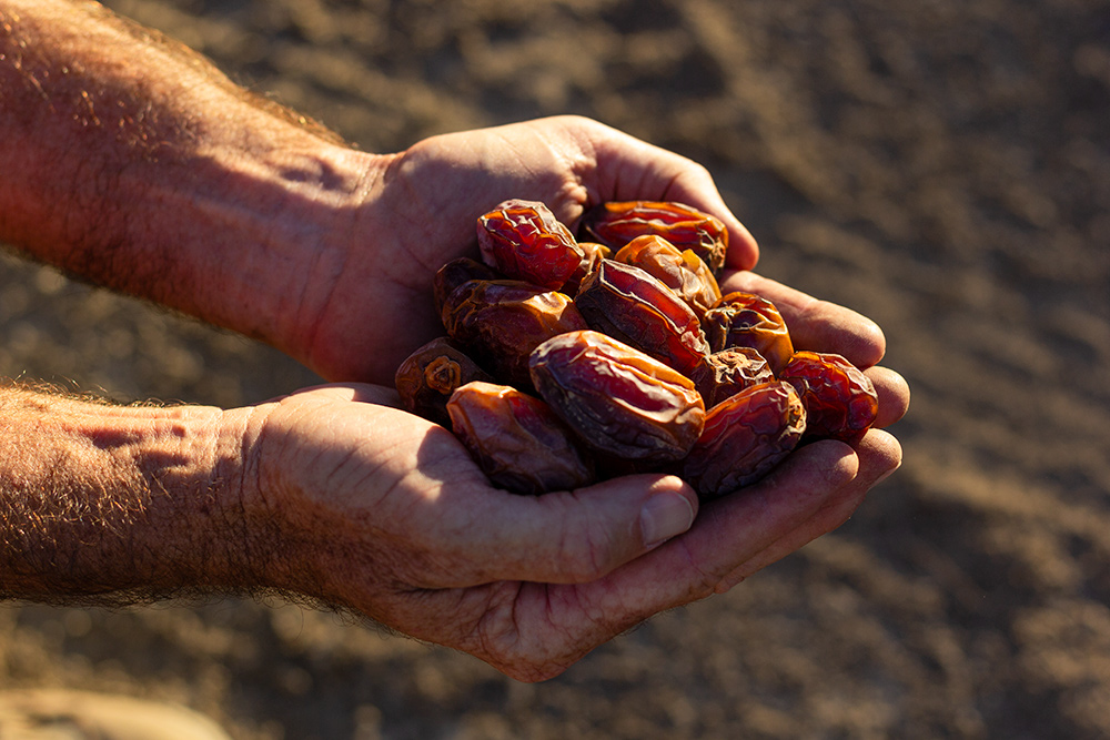 A handful of fresh medjool dates, grown in California