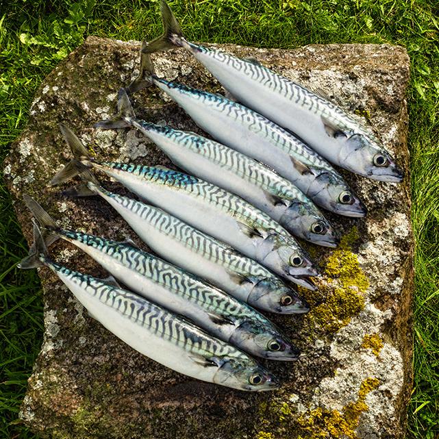 fresh mackerel caught in Scotland