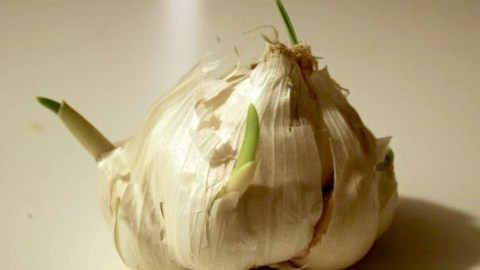 Is It Okay To Use Sprouted Garlic?