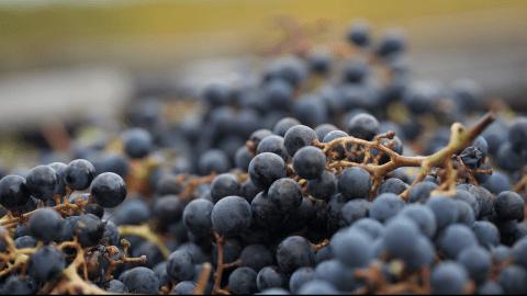 Around The World In 80 Wine Varietals: Cabernet Franc