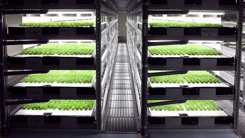 Rows and rows of robot-grown lettuce. (Photo courtesy of Spread.)