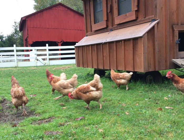 Chickens roam free at Handsome Brook Farm.