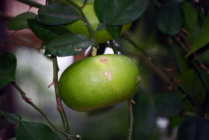 Citrus 'Oroblanco' (Hybrid Grapefruit)