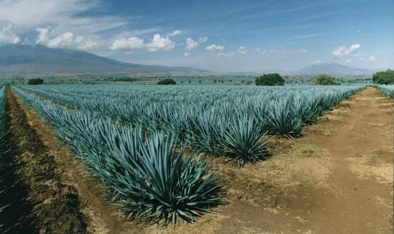 Image result for agave