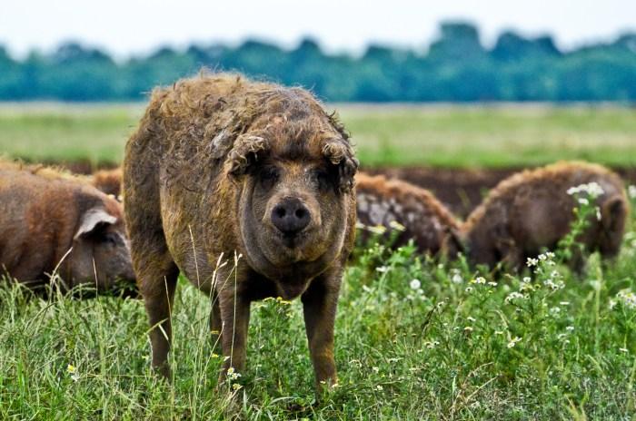 Mangalica Pigs