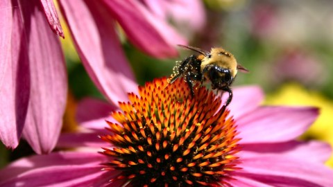 Big agricultural company Monsanto is looking to save bees. (Photo: gardener41/Flickr.)