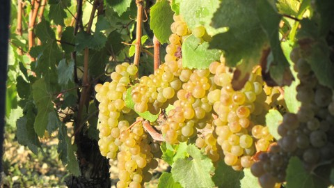 Chardonnay grapes in Chablis Grand Cru les Clos just befor the harvest