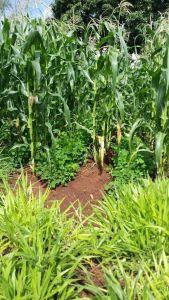 Maize, desmodium and grass