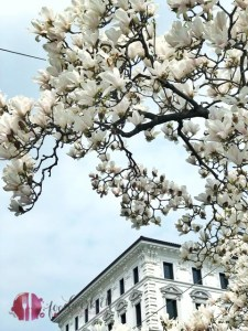 magnolie in lugano. Der Frühling ist schon im Tessin angekommen