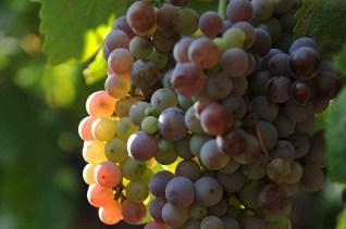Pinot-grigio-delle-Venezie-DOC