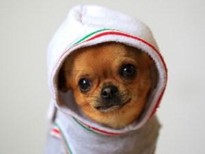 Bouli, le Chihuahua de Franck Dja Dje Dje