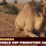 Shaheen Camel 2014 World Cup prediction animal