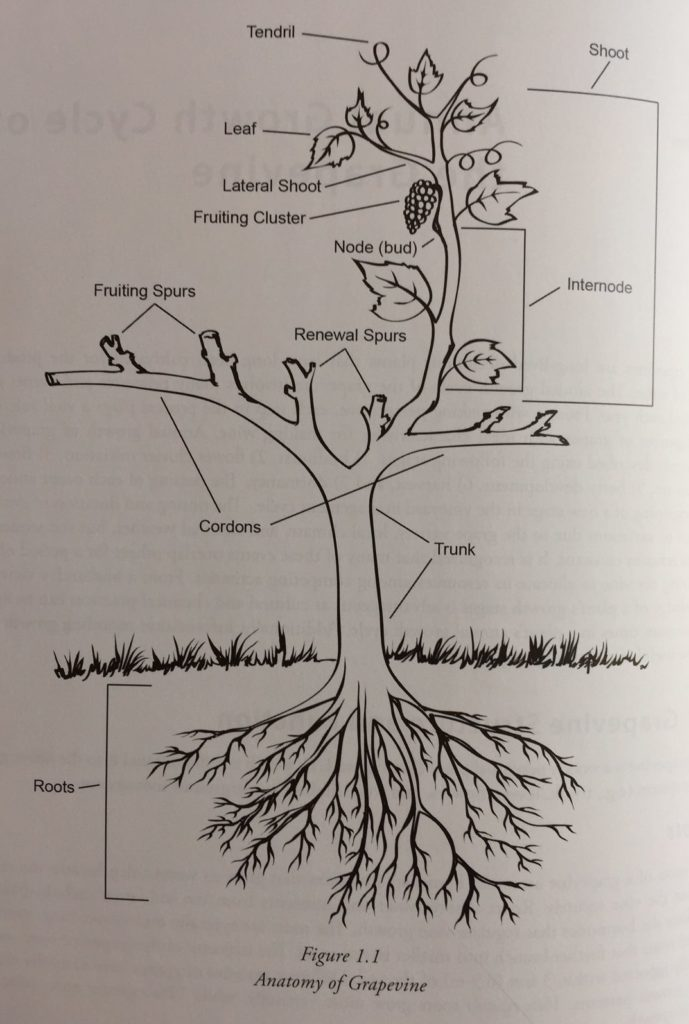 Anatomy of the grape vine – Foothills Terroir