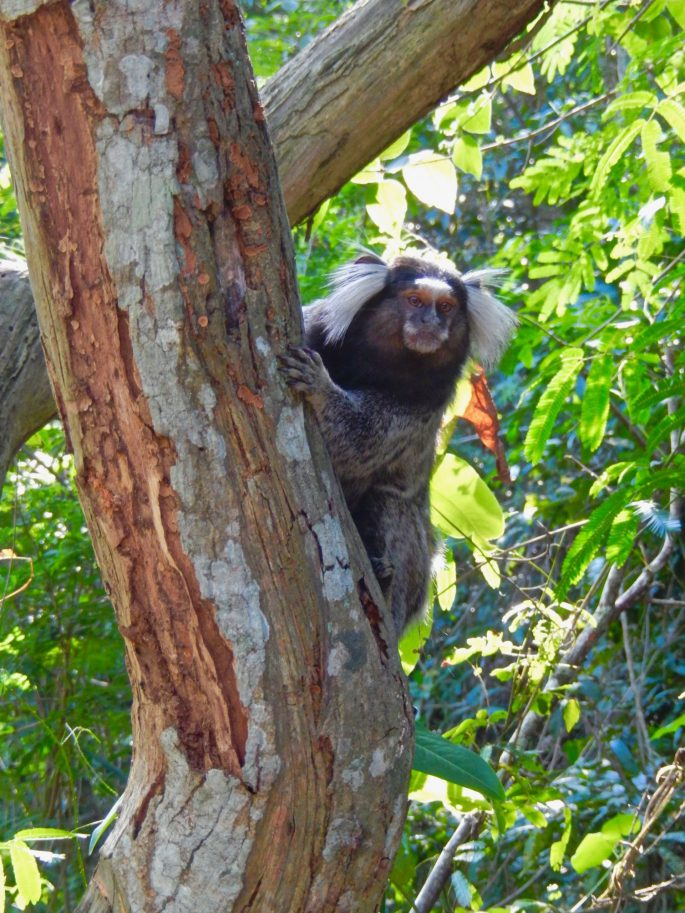 5 places to see monkeys in Rio de Janeiro | Footloose Lemon Juice