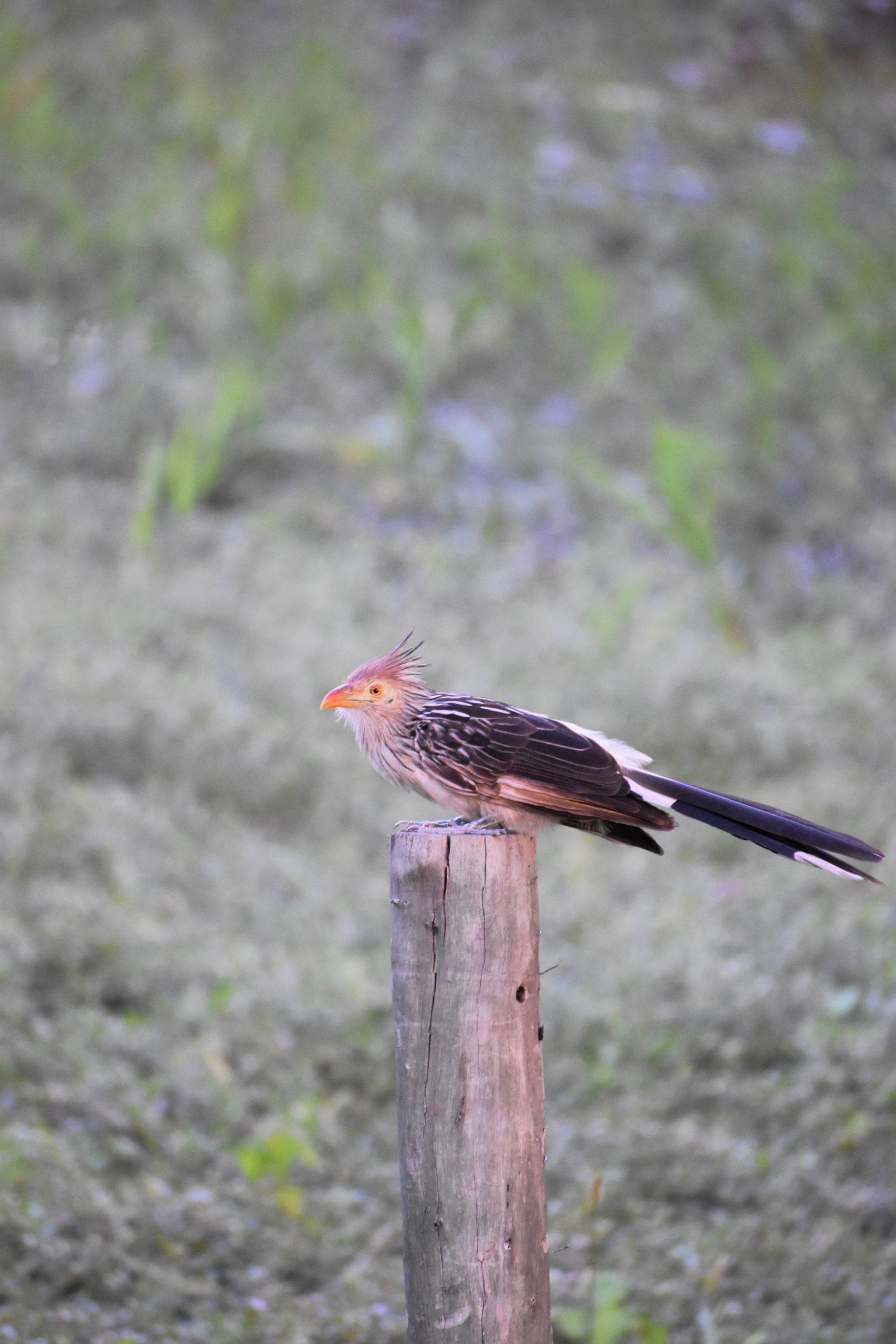 Woodpecker Pantanal
