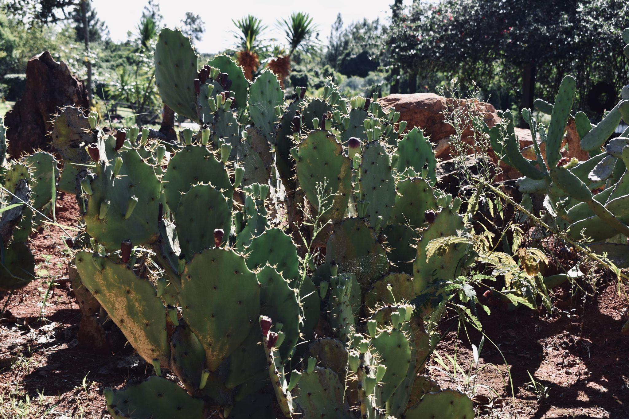 Cactus-in-Brazil