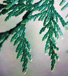 Western redcedar leaves