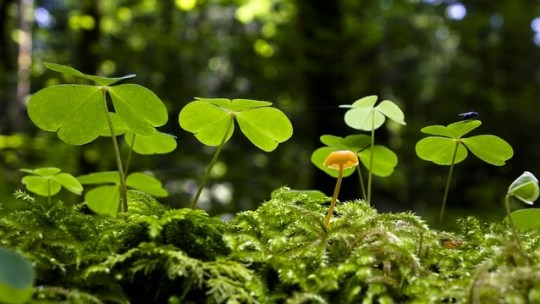 Wood Sorrel – 5 Powerful Health Benefits