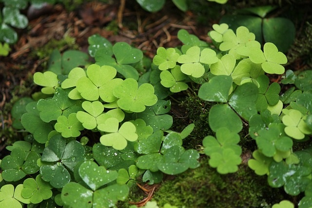 Wood Sorrel - 5 Health Benefits