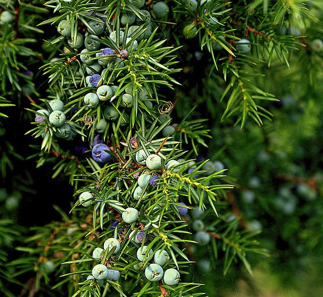 Beginners Guide to Identifying Conifers - Juniper