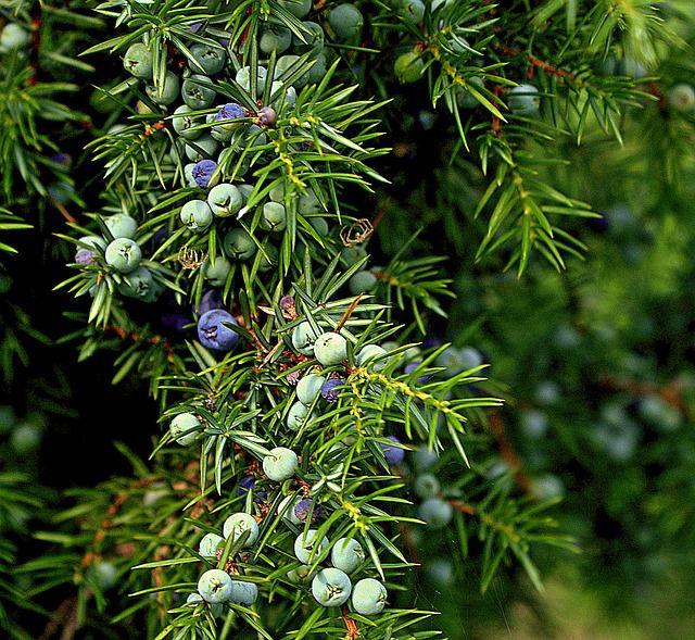 Beginners Guide to Identifying Conifers - Juniper