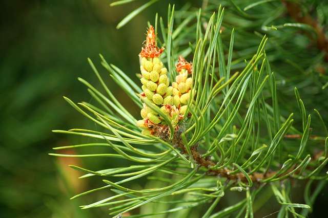 Beginners Guide to Conifers - Pine