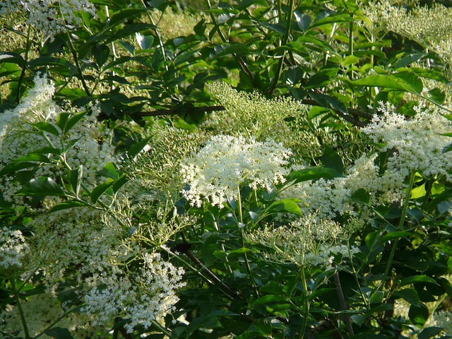 Elderflowers