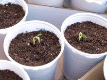 Plantas de pepino kiwano
