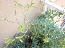 Plantas de habas