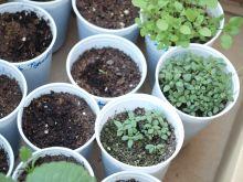 Romero, tomillo, mejorana y cilantro