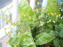 Acelgas, manzanilla y hierbabuena