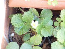 Flor de los fresones